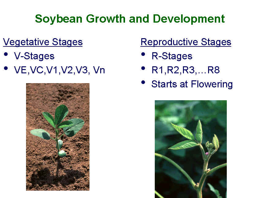 Soybean Growth And Development